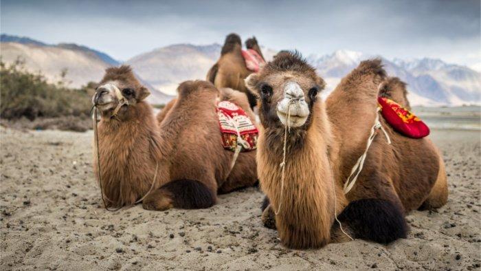 جموں و کشمیر: عیدالضحیٰ کے موقع پر بڑے جانوروں کی قربانی پر پابندی عائد
