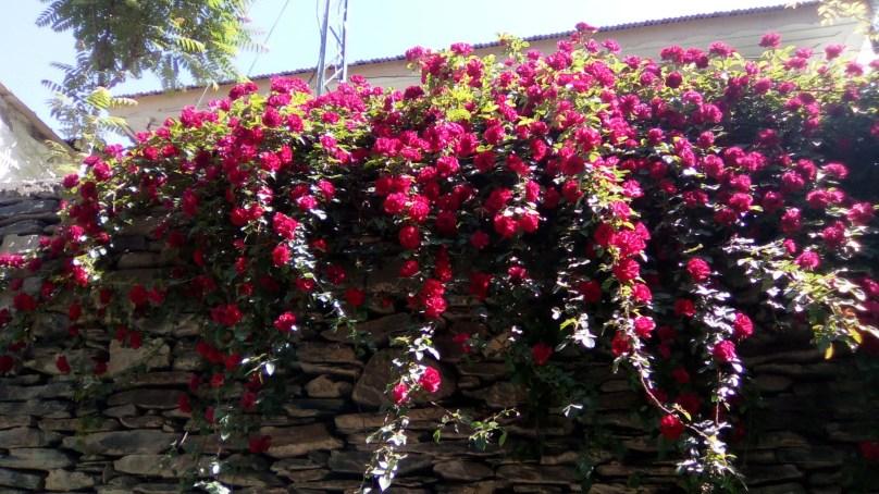 چترال میں گلاب کے پھولوں نے قدرتی حسن کو چار چاند لگا دئیے