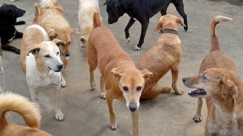 شگر میں آوارہ کتوں کی بھرمار، مویشیوں اور انسانوں پر حملے