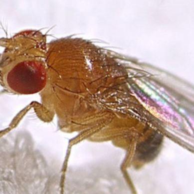 پھل کی مکھی سے گلگت بلتستان میں انتالیس لاکھ پودے متاثر ہوئے ہیں