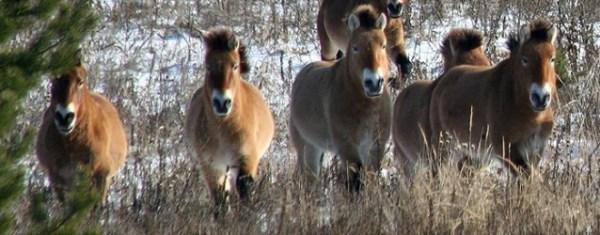 конете на Пржевалски
