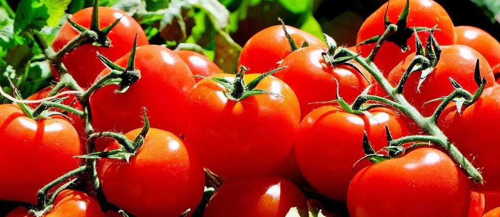leuchtend rote Tomaten am Strauch. Tomaten enthalten viel Folsäure.
