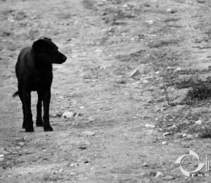 Câine singur
