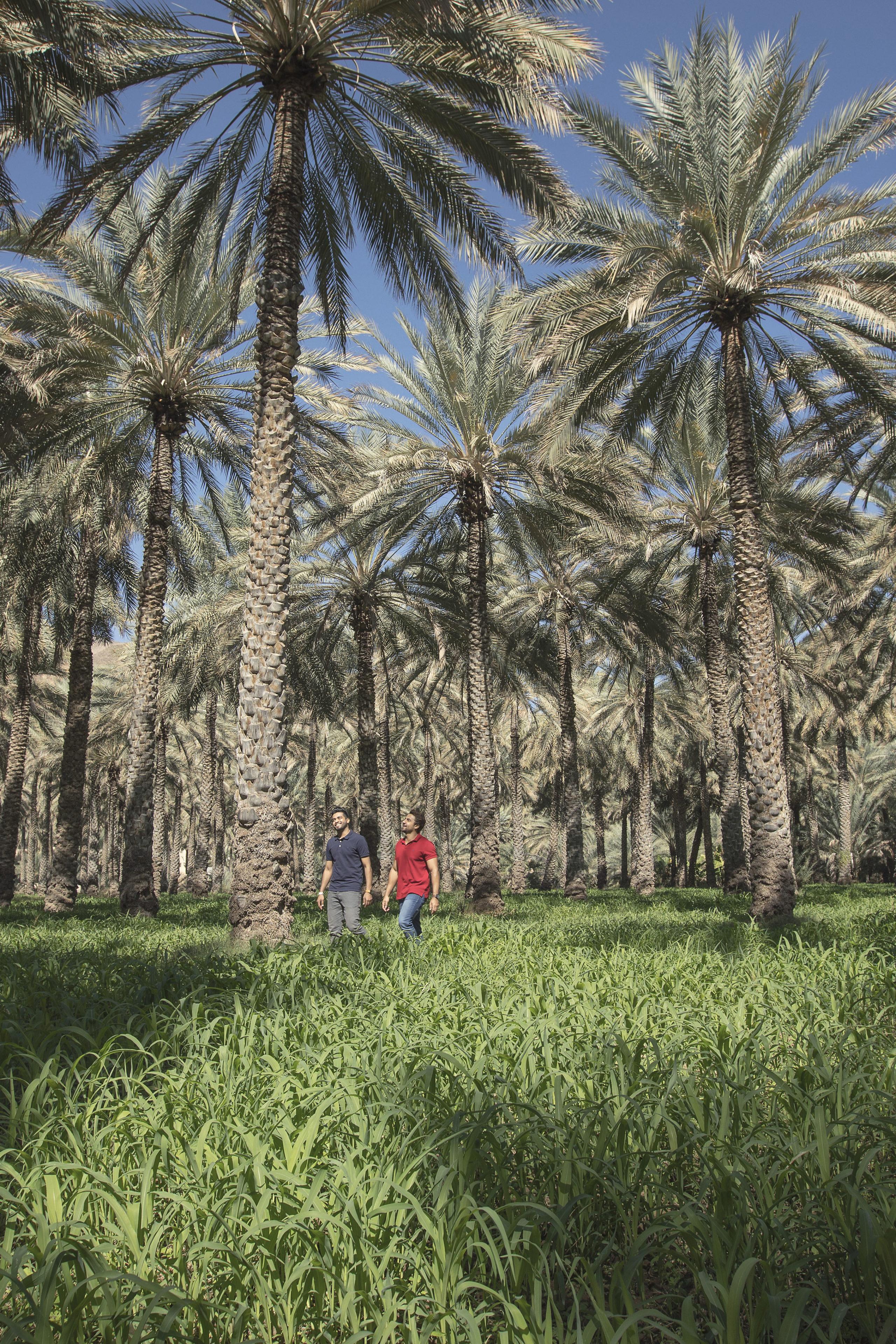Üppig sprießende und grüne Oasen inmitten der Wüste - auch das ist Oman.