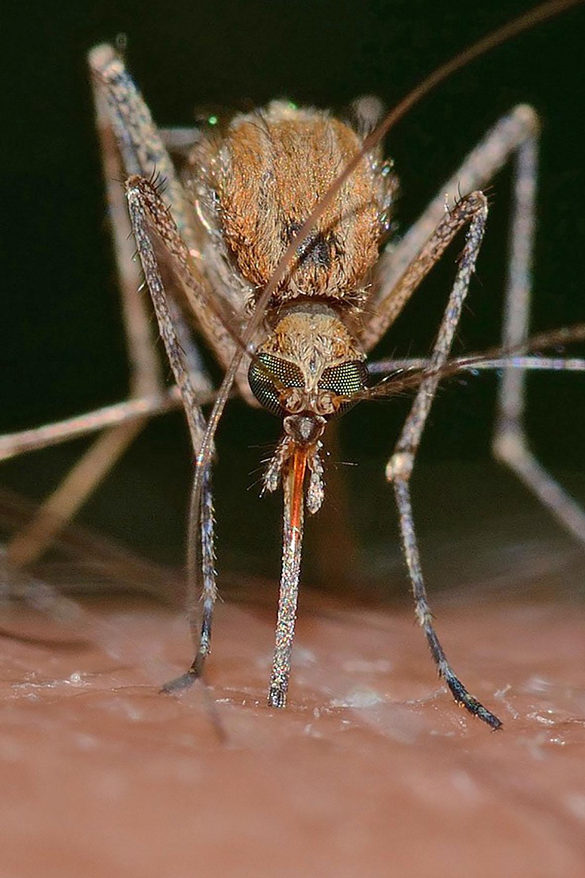 Mücken sind wohl die unbeliebtesten Reisebegleiter. Sie können Krankheitserreger wie die der Japanischen Enzephalitis, der Malaria oder des Dengue-Fiebers übertragen - Gesundheitsvorsorge bei Fernreisen
