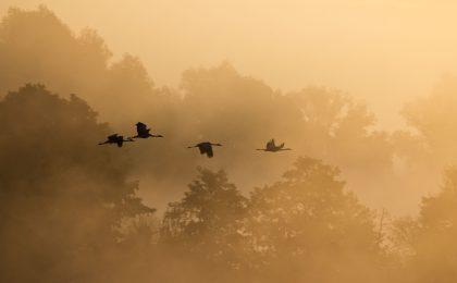 Wenn die Sonne den Morgennebel vergoldet, steigen die Kraniche aus der Flussniederung im Unteren Odertal empor.