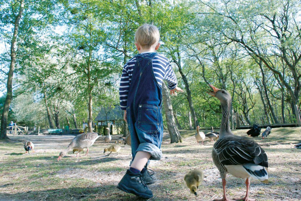 Die Vogelkoje auf Amrum ist ein Naturparadies mit Gänsen, Enten, Damwild und vielen Wildkaninchen auf der großen Wiese. F