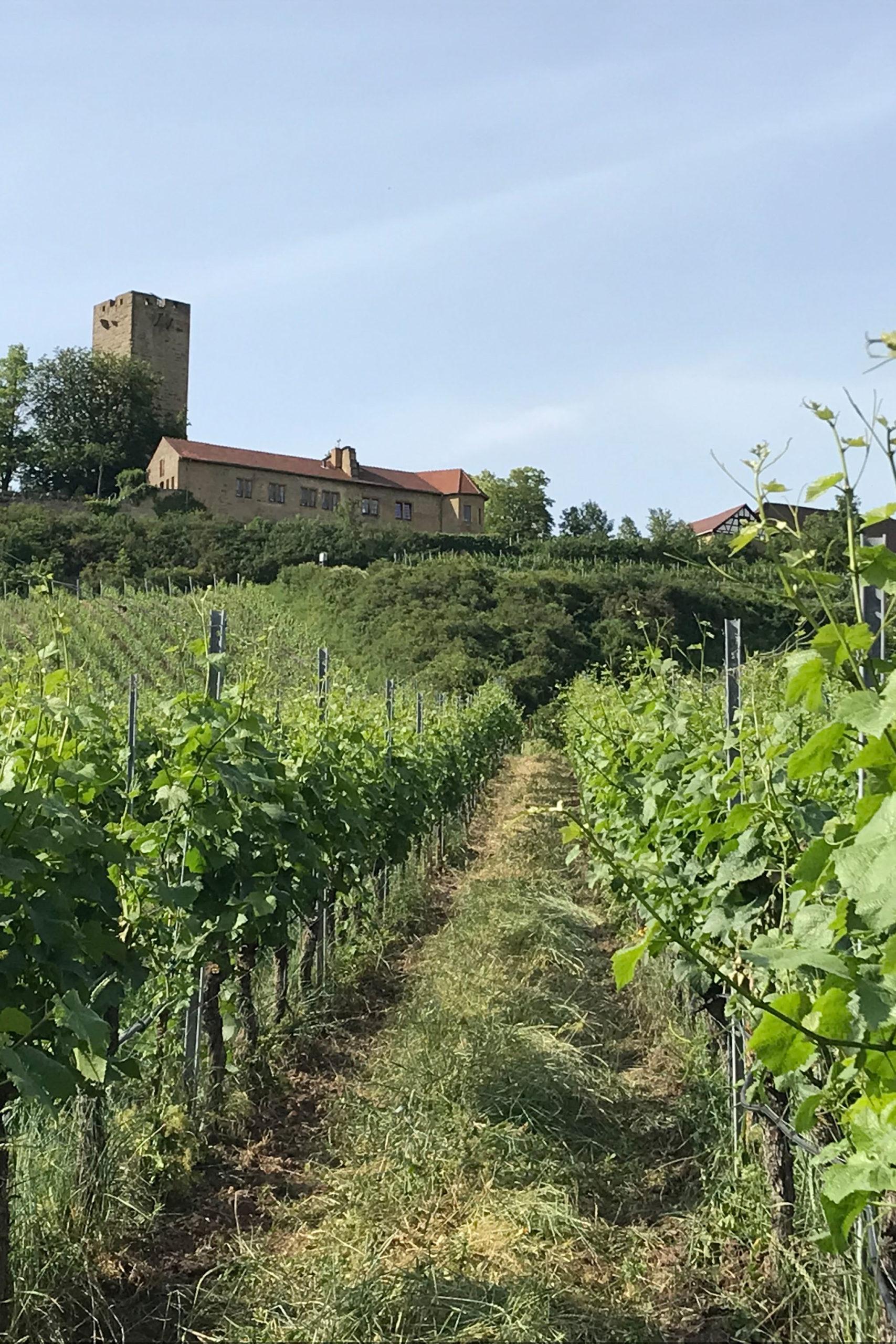 Burg Ravensburg in einem der Weinanbaugebiete im Kraichgau
