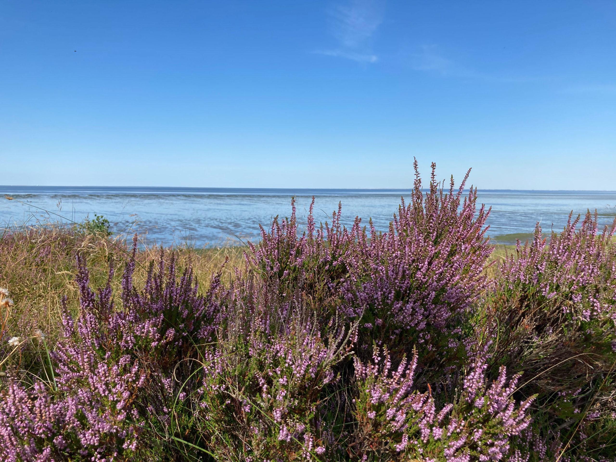 Blütenmeer direkt am Nordseestrand
