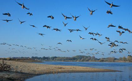 Vogelzug über der Elbe