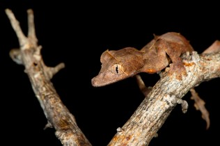 Uroplatus ebenaui from Nosy Be — photo by MDS
