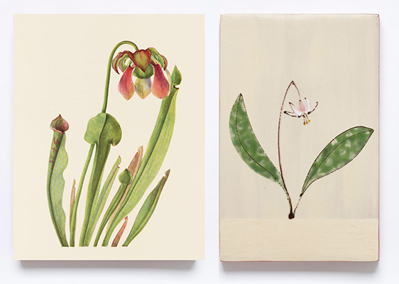 Illustrations of North American Pitcherplants. Mary Vaux Walcott. 1935. 