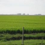 plantacion de arroz-1