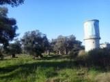 Ulivi secolari, comune Urupia