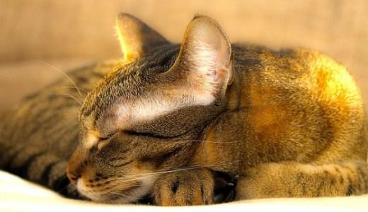 猫の胃拡張・胃捻転の原因や症状と治療法について