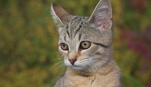 猫の疥癬(かいせん)の原因や症状と治療費は?激しい痒みも!