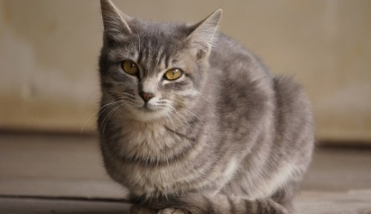 猫の慢性腎不全(4)自宅でできる治療!皮下補液とは?