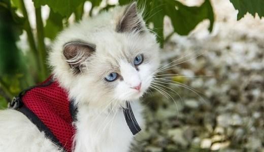 猫の結膜炎は治りにくい?原因や症状と治療やかかる費用など!
