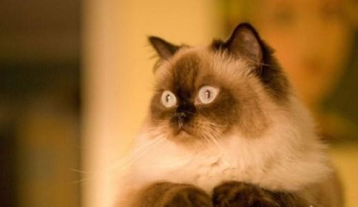 ヒマラヤンってどんな猫?ゴージャスな狸?特徴や性格と値段!