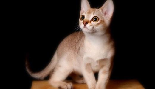 シンガプーラ!世界最小猫の大きさや特徴と性格、値段など!