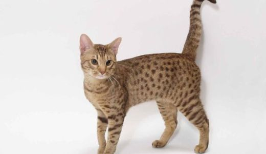 オシキャットはどんな猫?犬の魂を持つ猫の特徴と性格や値段!