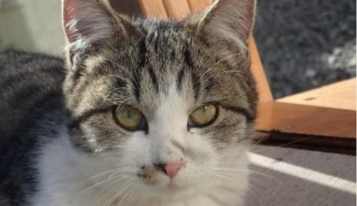 猫の基底細胞腫の症状や治療法は?皮膚のイボやしこりに注意!