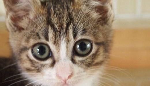 猫の赤い目やには病気?正常な目やにとの違いや見分け方は?