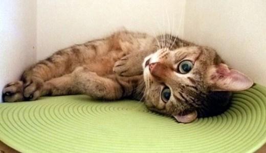 猫が足を引きずる!考えられる原因や病気など!