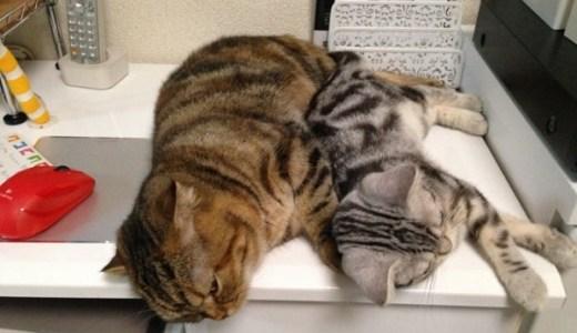 じゃま猫たちの困っちゃうけどかわいい日常/わが家の女王猫