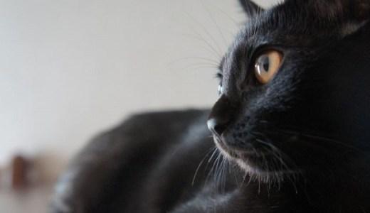 4つの耳を持つ奇跡の黒猫「バットマン」がスーパーヒーロー!