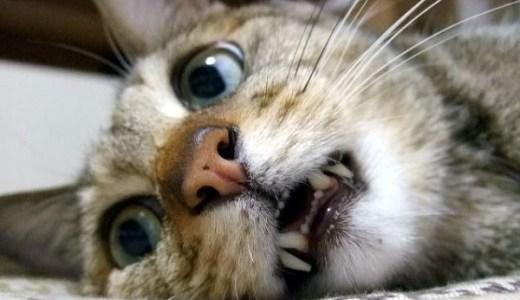 猫の鼻の変形や変色などの症状や異変!考えられる病気とは?