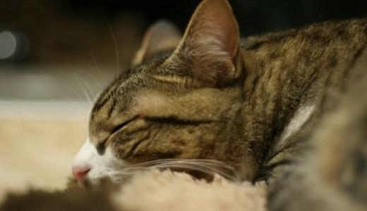 高齢猫の全身麻酔や手術のリスクは?体に与える影響や負担は?