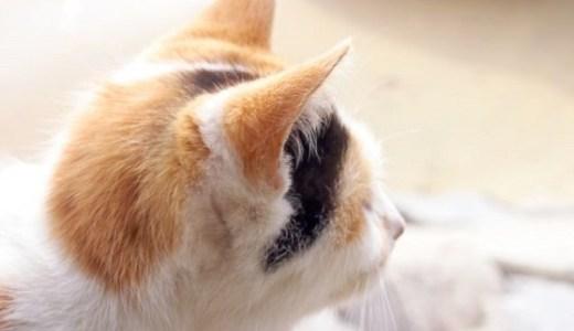岡山で猫の駅長が誕生!?おかでんの看板三毛猫の仕事ぶりは?
