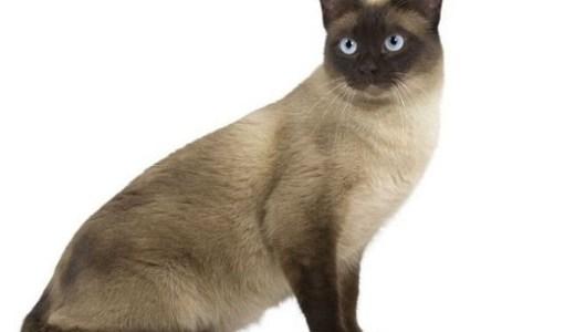 猫のトンキニーズはやんちゃで甘えん坊!特徴や相場は?
