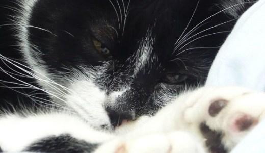 猫の慢性腎不全の薬セミントラの効果や副作用などは?
