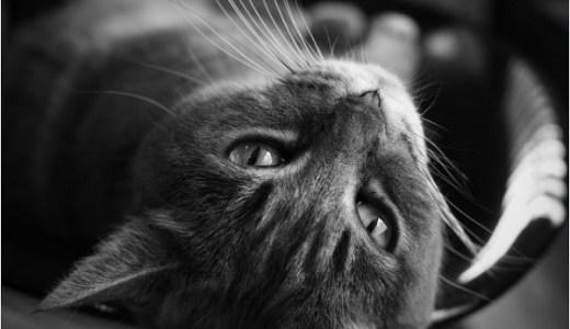 猫の甲状腺機能亢進症の治療薬メルカゾールの費用や副作用は?