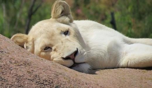 ホワイトライオンの神秘!生まれる確率や遺伝子,生態とは?