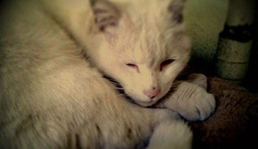 猫の悪性リンパ腫の予後や余命、安楽死の選択について!