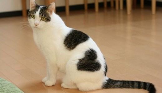 猫の肥満細胞腫の治療や手術費用と術後、予後について!
