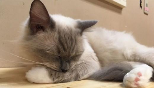 猫の避妊,去勢手術は発情期でもできる?リスクや費用は?