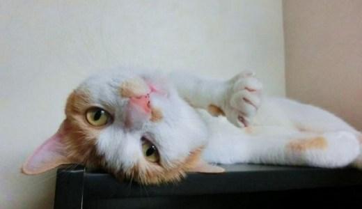 猫の発情が頻繁にある!原因や対処法と注意するべきこと!
