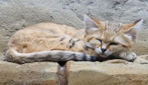 スナネコの生態や特徴と絶滅危惧!希少な天使の子猫動画など!