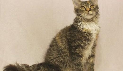ラパーマの値段や大きさ,性格など!巻き毛の美猫の歴史と魅力!
