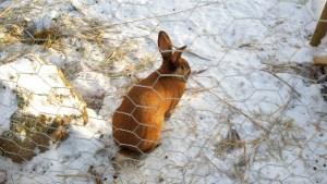 En av han-kaninerna gör sig hemmastadd.
