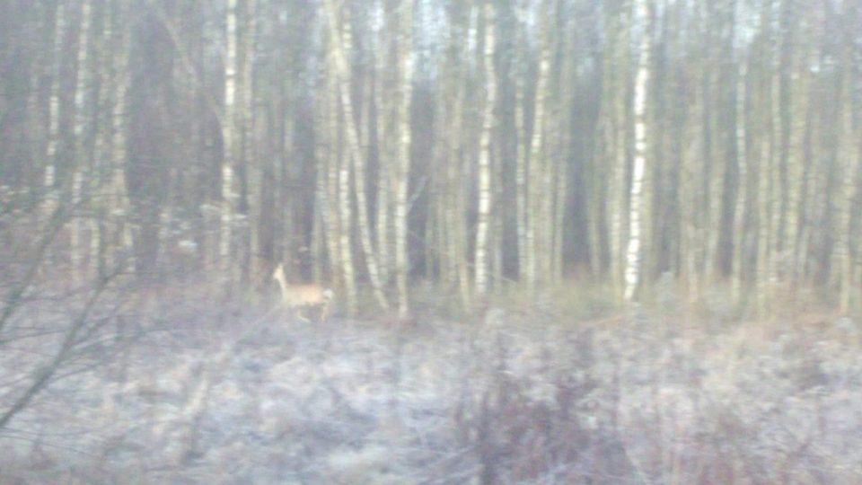leśna zwierzyna niewyraźne zdjęcie