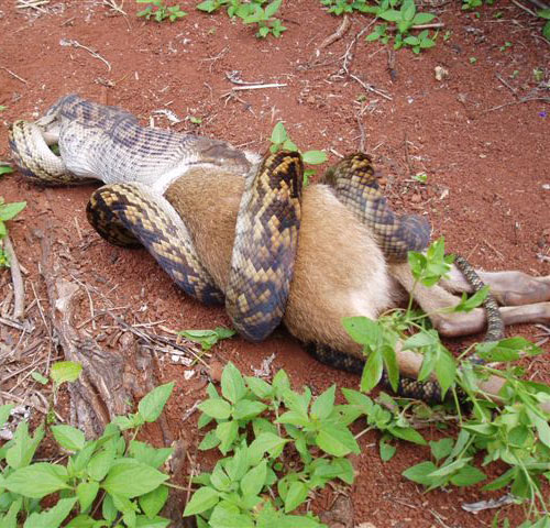 snake eats kangaroo