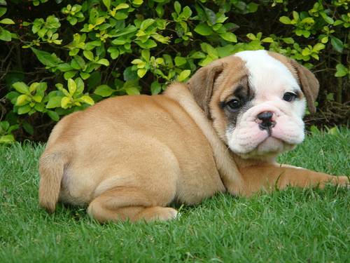 bulldogpuppy