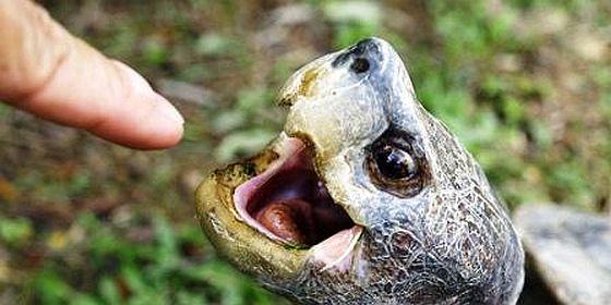 turtle biting finger