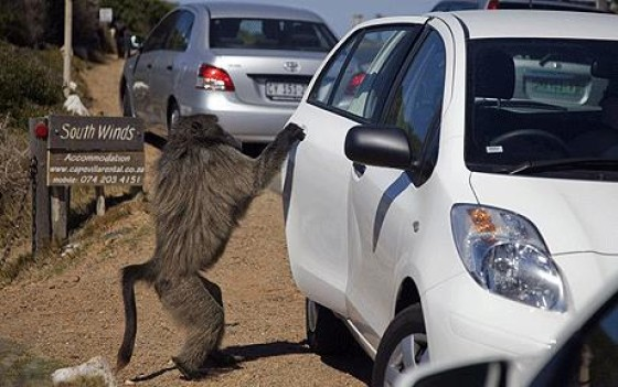 Baboons hump car door