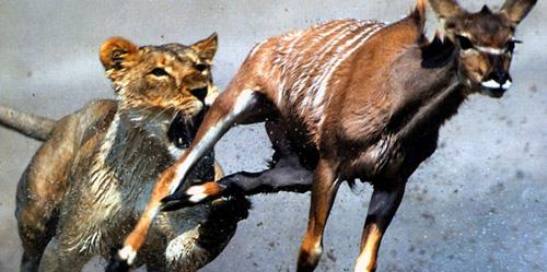 Lion Antelope